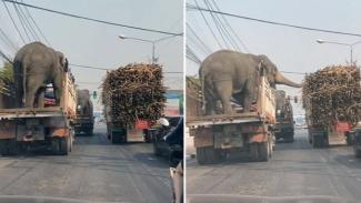Gajah mencuri makanan.