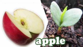 Menanam buah apel langsung dari bijinya