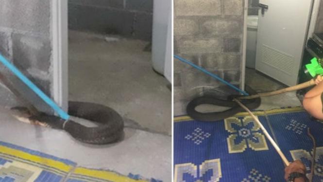 King kobra besar di kamar mandi.
