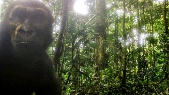 Gorilla selfie.
