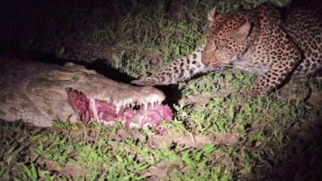 Macan tutul curi makanan dari mulut buaya.