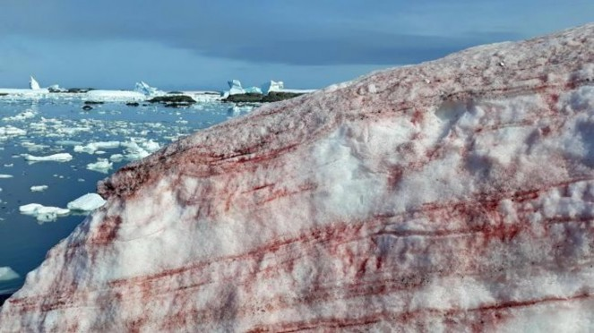 Salju berdarah di Antartika.