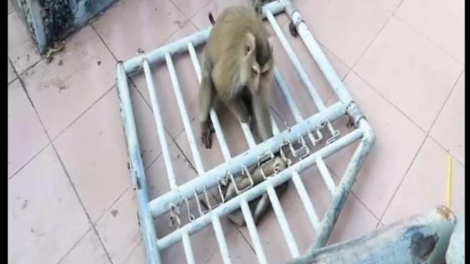 Ibu monyet berusaha menolong anaknya