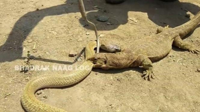 Gigitan biawak yang kuat kepada ular kobra.