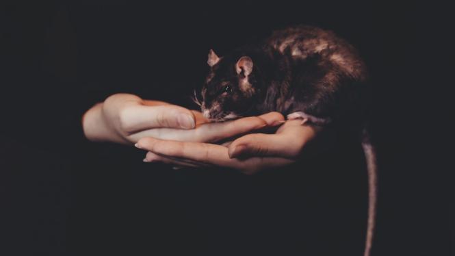 Tikus.