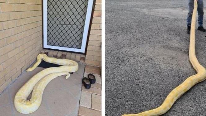 Ular sanca albino yang berusaha memasuki rumah.