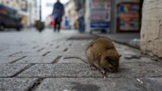 Tikus pembawa dan penular Hantavirus