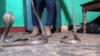 Dua ular kobra memasuki rumah.