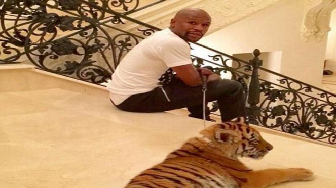 Mayweather dan harimaunya
