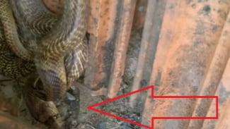 Ular kobra bersarang di genteng.