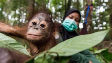 https://thumb.viva.co.id/media/frontend/thumbs3/2020/04/02/5e851e758456b-mereka-setia-menjaga-orangutan-dari-ancaman-virus-corona_375_211.jpg