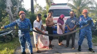 Ular king kobra ditangkap petugas.