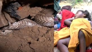 Ular kobra bersarang di rumah.