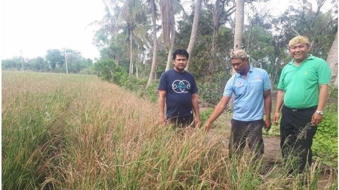 Saat musim kemarau, penyakit tanaman padi oleh cendawan tidak berkembang.