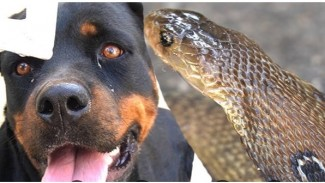 Anjing rotweiler digigit ular kobra.