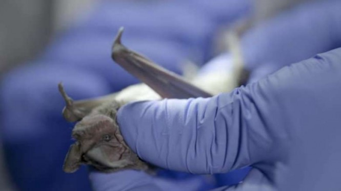 Ilmuwan melakukan penelitian virus corona baru.