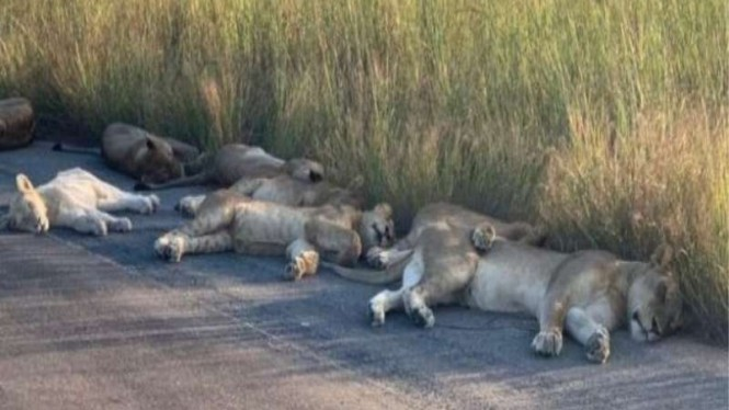 Singa-singa tidur siang santai di taman nasional di Afsel