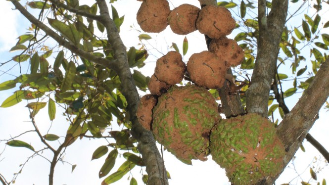 Durian Gundul.