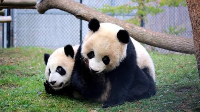 2 panda raksasa di kebun binatang di Kanada