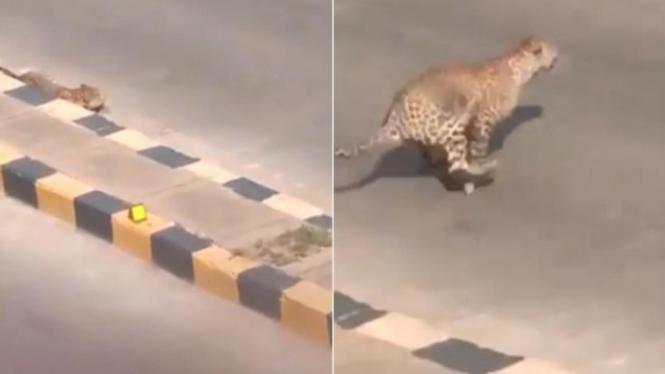 Macan tutul berkeliaran di jalan raya India.