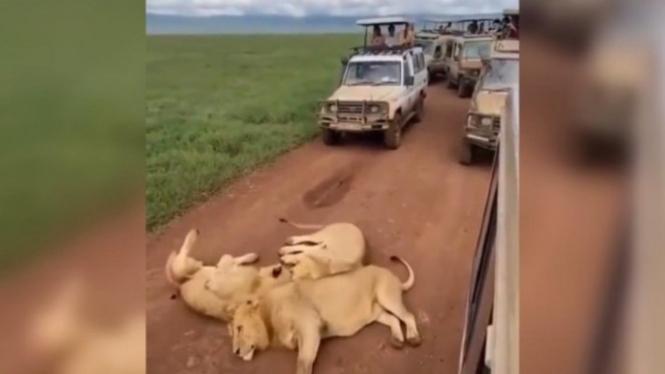 Singa-singa tiduran di tengah jalan.