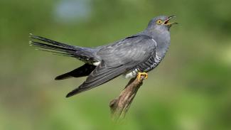 Burung Cuckoo.