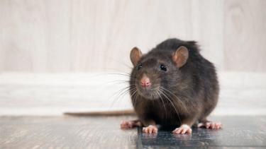 https://thumb.viva.co.id/media/frontend/thumbs3/2020/05/31/5ed395bd6c0d7-covid-19-apakah-pandemi-menyebabkan-tikus-menjadi-semakin-agresif_375_211.jpg
