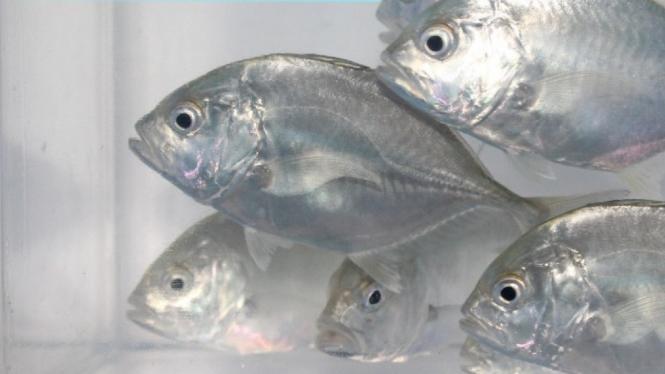 Ikan Bubara dari Ambon dikonsumsi pasien RS Darurat Covid-19 untuk menjaga imun