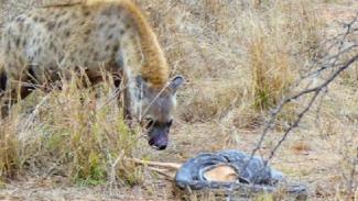 Hyena mencuri makanan ular piton.