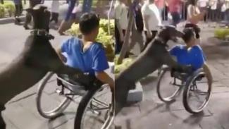 Anjing mendorong kursi roda.