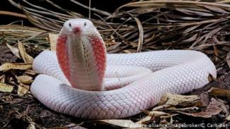 Ilustrasi ular (picture-alliance/imagebroker/C. Carbillet)
