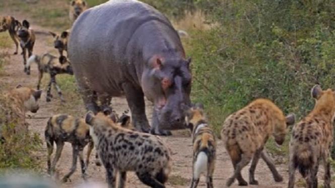 Kawanan anjing liar, hyena dan kuda nil berebut impala.