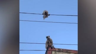 Induk monyet kebingungan anaknya ada di kabel listrik.