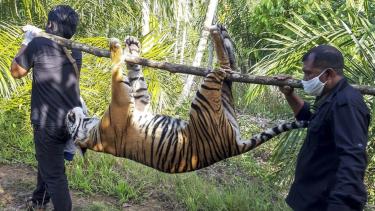 https://thumb.viva.co.id/media/frontend/thumbs3/2020/06/30/5efa9ad2f1c67-harimau-sumatera-ditemukan-mati-di-perkebunan-masyarakat-aceh_375_211.jpg