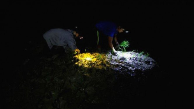 Petani di Vietnam menanam padi malam hari akibat panas ekstrem di siang hari