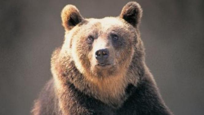 Seekor beruang cokelat.