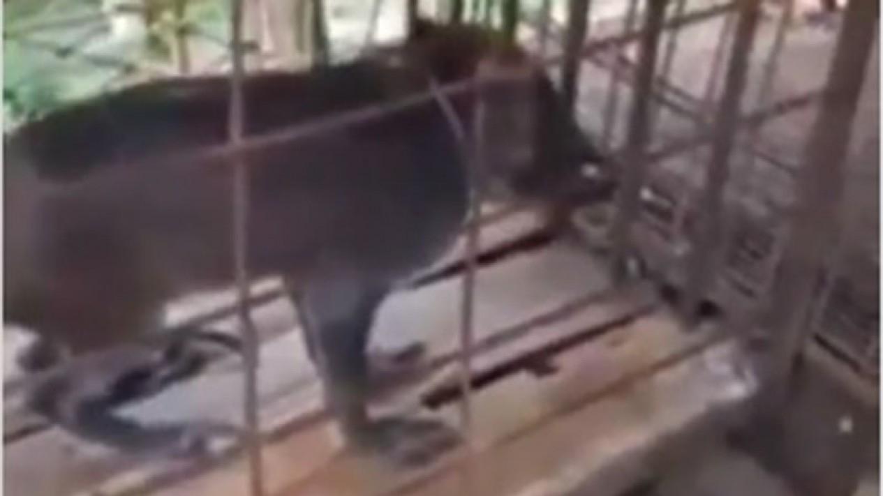 Babi jadi-jadian ditangkap warga.