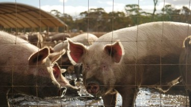 https://thumb.viva.co.id/media/frontend/thumbs3/2020/07/03/5efee2ee291c6-flu-babi-baru-muncul-di-china-akankah-jadi-pandemi-dan-haruskah-kita-waspada_375_211.jpg