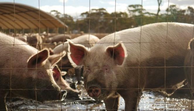 https://thumb.viva.co.id/media/frontend/thumbs3/2020/07/03/5efee2ee291c6-flu-babi-baru-muncul-di-china-akankah-jadi-pandemi-dan-haruskah-kita-waspada_663_382.jpg