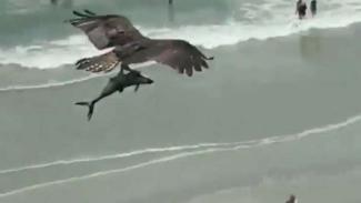 Viral video elang cengkeram ikan besar diduga hiu