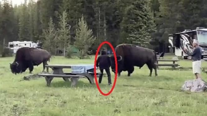 Nenek ditabrak bison raksasa.