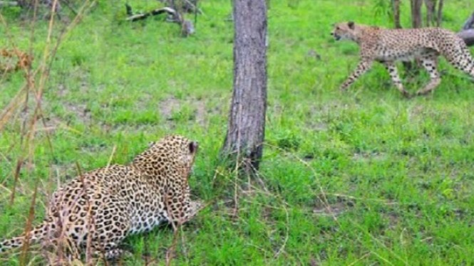 Cheetah dosergap macan tutul.