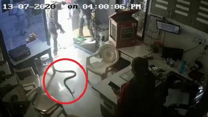 Ular kobra dilepaskan di kantor spbu.