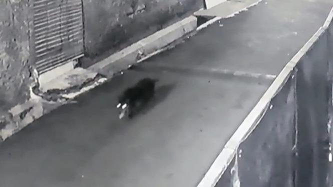 Foto diduga babi ngepet di Depok