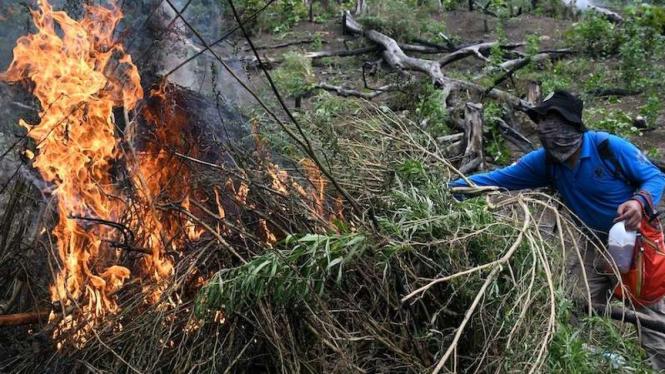 Tim gabungan yang terdiri dari Badan Narkotika Nasional (BNN), TNI, Polri dan Pemerintah Provinsi Aceh membakar batang ganja dalam operasi pemusnahan ladang ganja di lereng bukit Lamreh, Desa Lamreh, Aceh Besar, Aceh, Rabu (15/7/2020). (Foto ilustrasi)