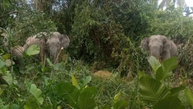 Segerombolan gajah masuk ke perkebunan penduduk.