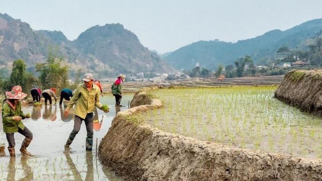 Ilustrasi bekerja sama menanam padi