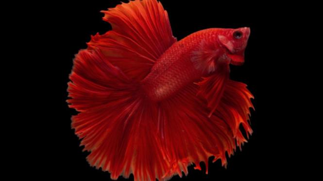 Asli Indonesia 4 Jenis Ikan Cupang Ini Paling Diburu Kolektor Dunia