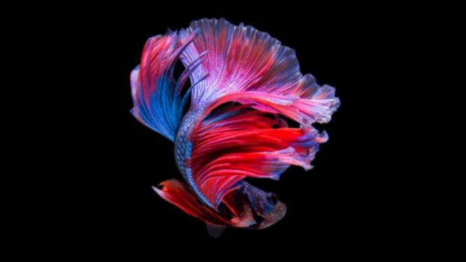 Ikan cupang.