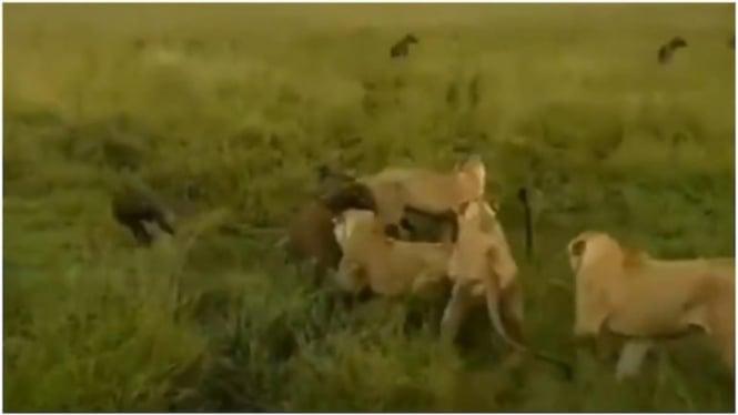 Singa betina bertarung sengit dengan sekawanan hyena.